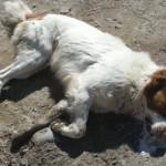 Sigue la matanza de perros