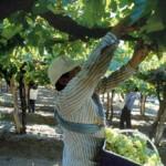 La cosecha de uva ya sobrepasó los 20 millones de Kg.