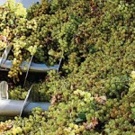 Se cosecharon mas de 27 millones de kilos de uva