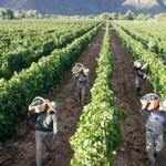 La cosecha de uva alcanzó los 18.330.510 kg