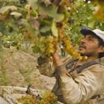 La cosecha de uva superó los 10 millones de kilos