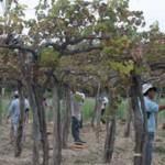 La cosecha de uva se acerca a los cinco millones de kilos