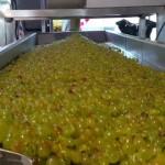 Más de 20 millones de kilos de uva cosechada