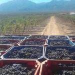 La cosecha de uva se acerca a los 35 millones de kilos