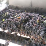 Se cosecharon más de 40 millones de kilos de uva