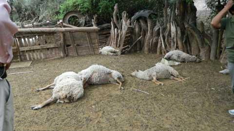 Extraña muerte de 24 ovejas en Chañar Punco