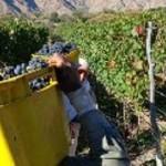 Más de 18 millones de kilos uvas cosechados hasta el momento
