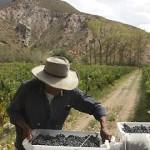 La cosecha se acerca a los 15 millones de kilos de uva
