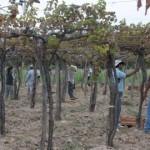 La cosecha  alcanzó los 23 millones de kilos de uva