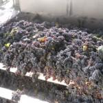 La cosecha pasó los 38 millones de kilos de uva