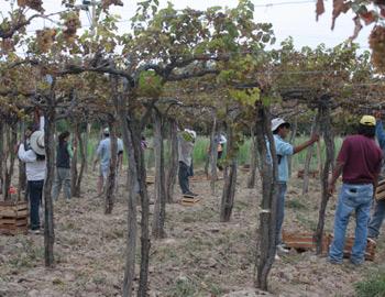 0 cosecha-de-uva-cafayate