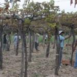 Se llevan cosechados más de 16 millones de kilos de uva