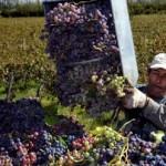 La cosecha de uva se acerca a los 20 millones de kilos