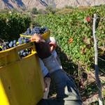 La cosecha de uva se acerca a los 25 millones de kilos