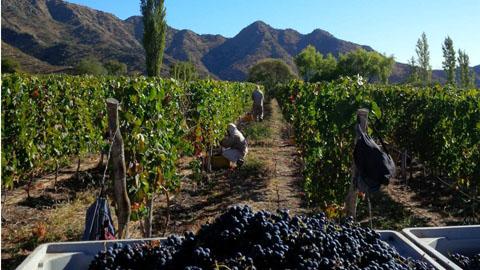 La cosecha de uva se acerca a los 18 millones de kilos