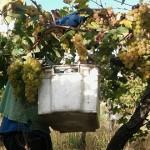 La cosecha de uva se acerca a los 30 millones de kilos