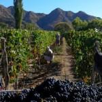 La cosecha de uva se acerca a los 40 millones de kilos