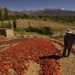Preocupación de productores de pimentón por falta de acuerdo en el precio