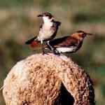 ¿Quiénes decidieron que el hornero se convirtiera en el ave nacional?