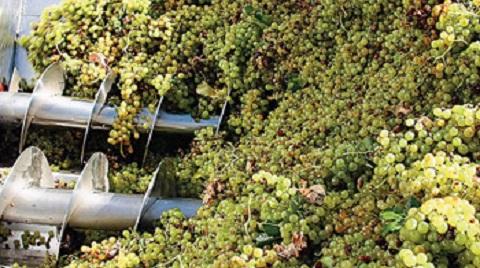 La cosecha de uva se acerca a los 17 millones de kilos